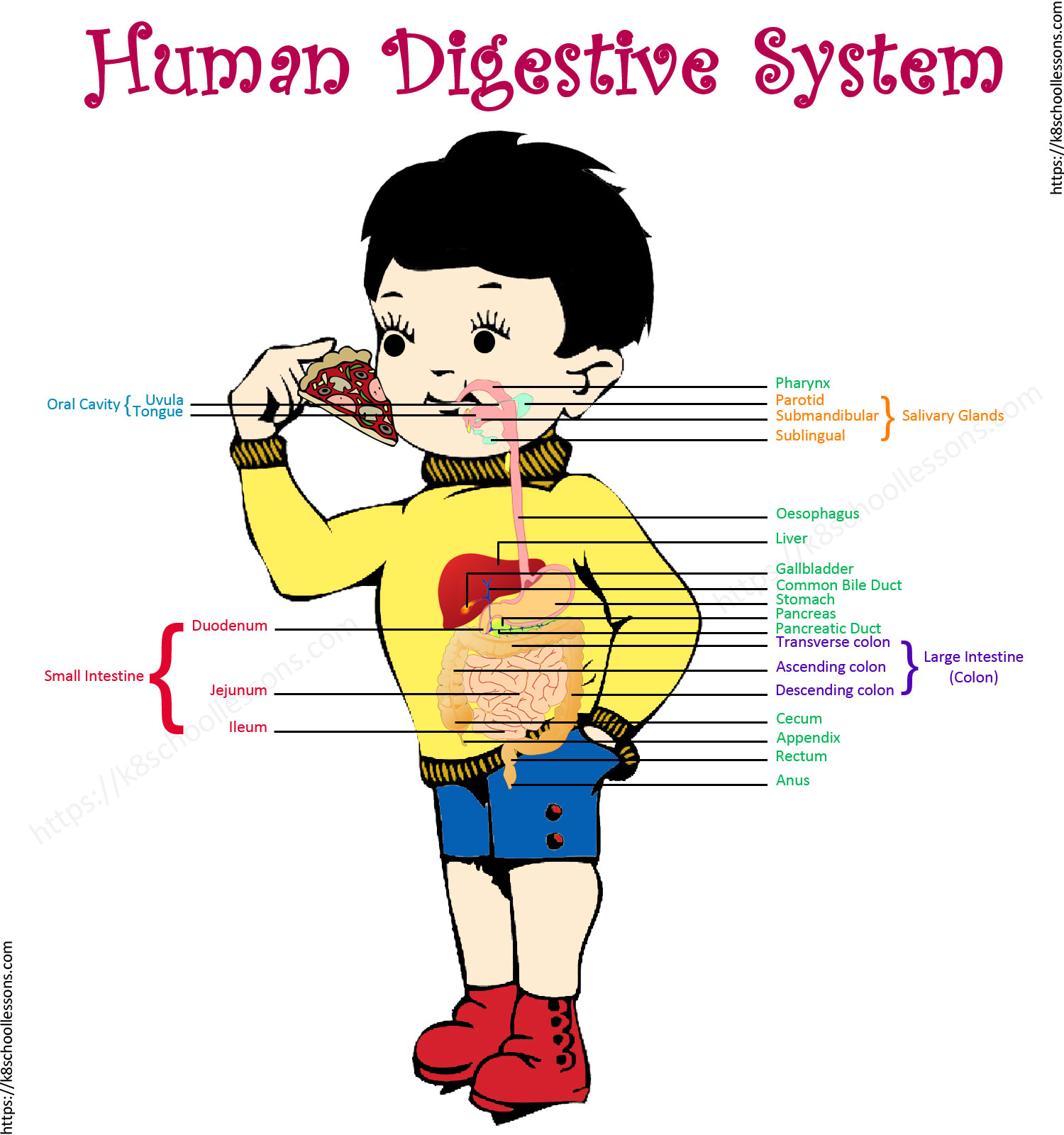 Digestive System for Kids.