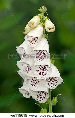 Stock Photograph of White color variation of Digitalis purpurea.