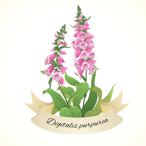 Digitalis Clip Art, Vector Images & Illustrations.