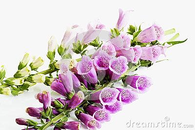 Digitalis Purpurea, Purple Foxglove Stock Photo.