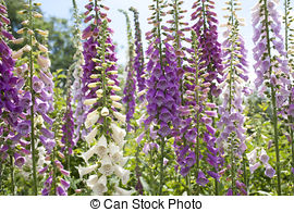Stock Images of Flowering yellow foxglove.