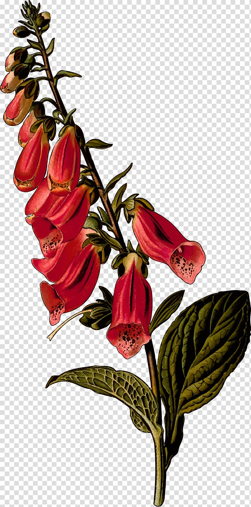 Foxglove transparent background PNG cliparts free download.