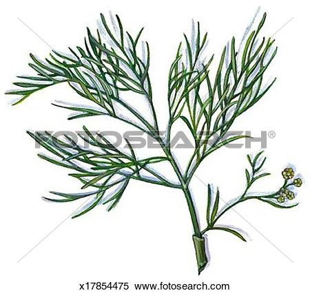Dill Illustrations and Clipart. 212 dill royalty free.