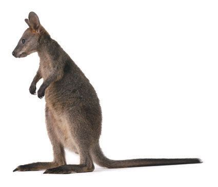 Wallaby clipart free.