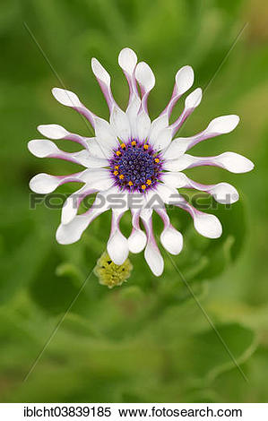 "Stock Image of ""Cape marguerite (Dimorphotheca ecklonis."