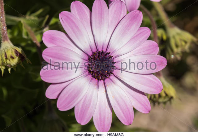 Osteospermum Pink Violet Blooming Flower Stock Photos.