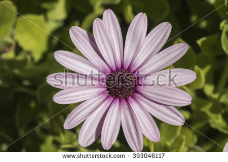 Osteospermum Ecklonis Stock Photos, Royalty.