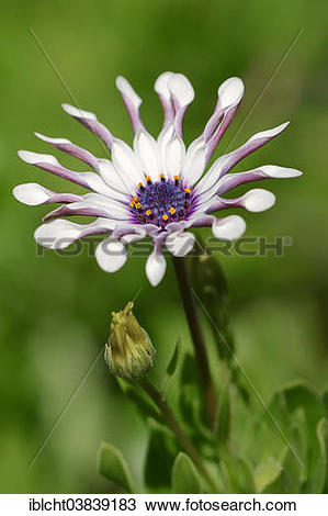"Stock Photo of ""Cape marguerite (Dimorphotheca ecklonis."