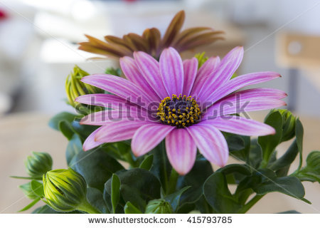 Dimorphotheca Stock Photos, Royalty.