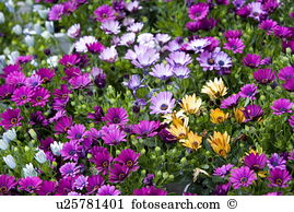 Osteospermum Stock Photo Images. 920 osteospermum royalty free.