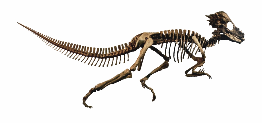 Dinosaur Skull Png Transparent Background.
