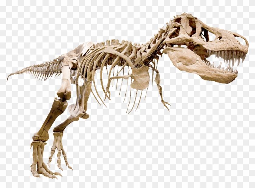 Skelett Av T.