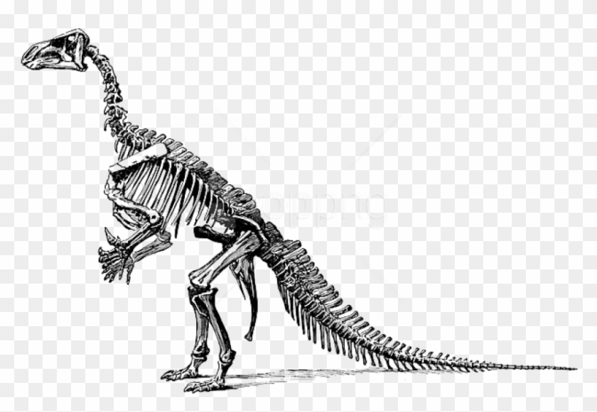 Free Png Download Tyrannosaurus Fossil Skeleton Png.