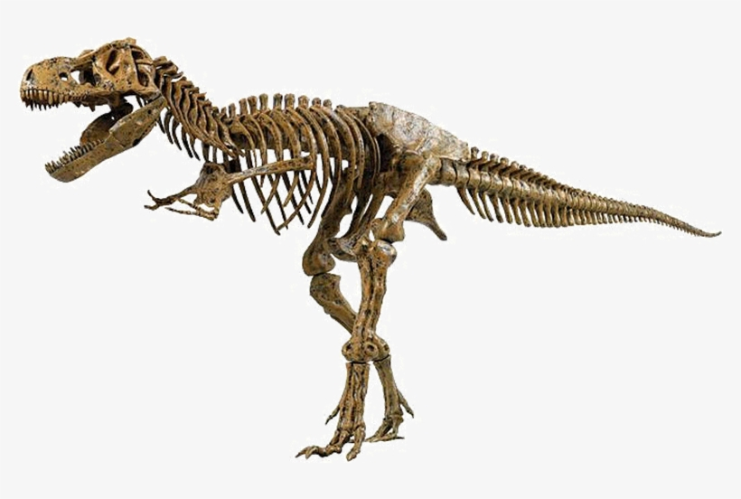 Above Is A Picture Of The Skeleton Of A Real Tyrannosaurus.
