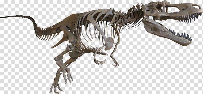 Tyrannosaurus Daspletosaurus Late Cretaceous Albertosaurus Dinosaur.