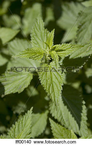Stock Photography of Stinging nettle (Urtica dioica), close.