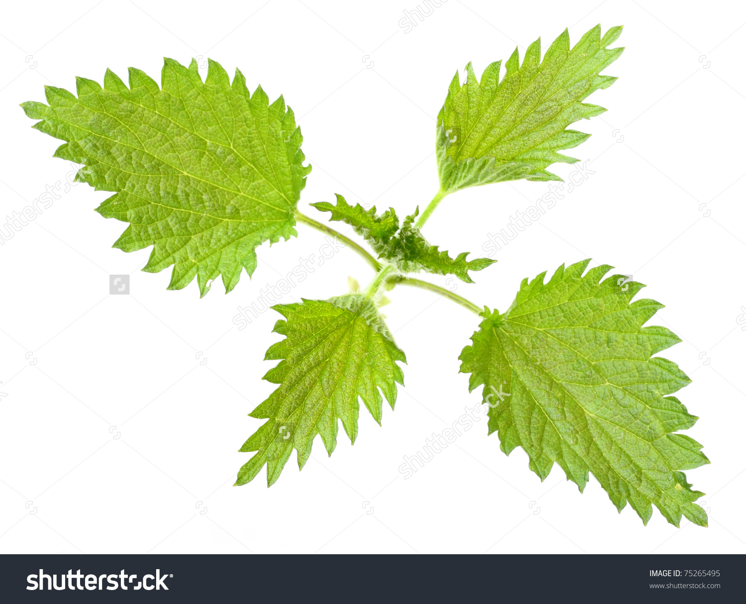 Stinging Nettle Urtica Dioica Rich Vitamins Stock Photo 75265495.