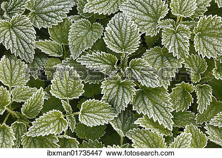 Picture of Large stinging nettle (Urtica dioica) with hoarfrost.