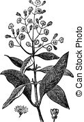 Dioica Clip Art Vector and Illustration. 13 Dioica clipart vector.