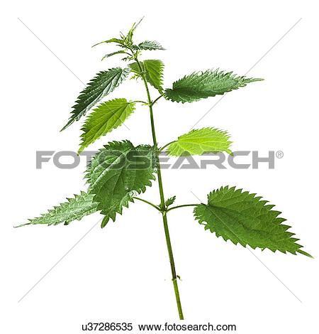 Stock Image of Stinging nettle Urtica dioica u37286535.