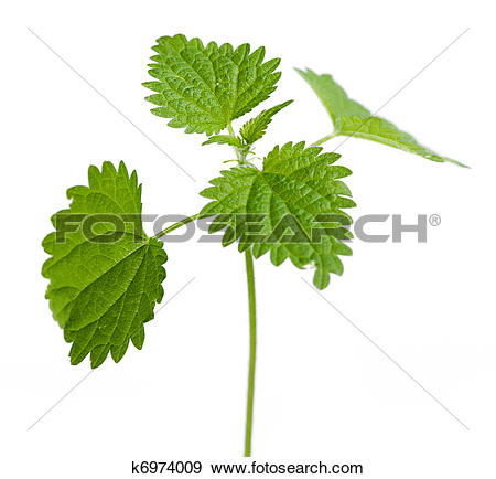 Stock Photograph of Urtica dioica plant leaves k6974009.