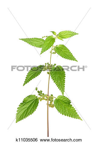 Stock Images of Stinging nettle (Urtica dioica) k11035506.