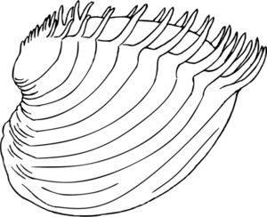 Bivalve 3 cytherea dione.