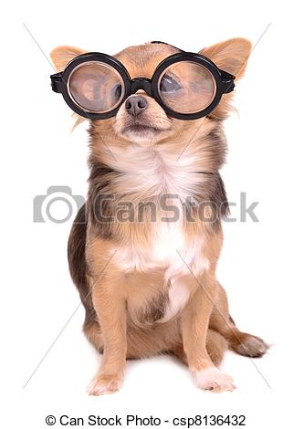 Stock Photo of Cute chihuahua puppy with high diopter thick.