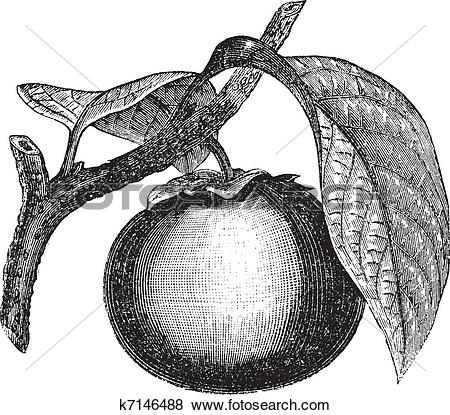 Clip Art of Japanese Persimmon or Diospyros kaki, vintage.