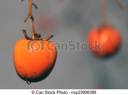 Pictures of ripe orange Diospyros kaki hanging on the branch of.