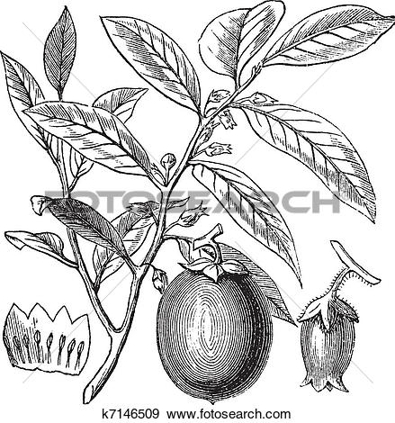 Clip Art of American Persimmon or Diospyros virginiana, vintage.