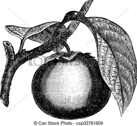 Clipart Vector of Japanese Persimmon or Diospyros kaki, vintage.