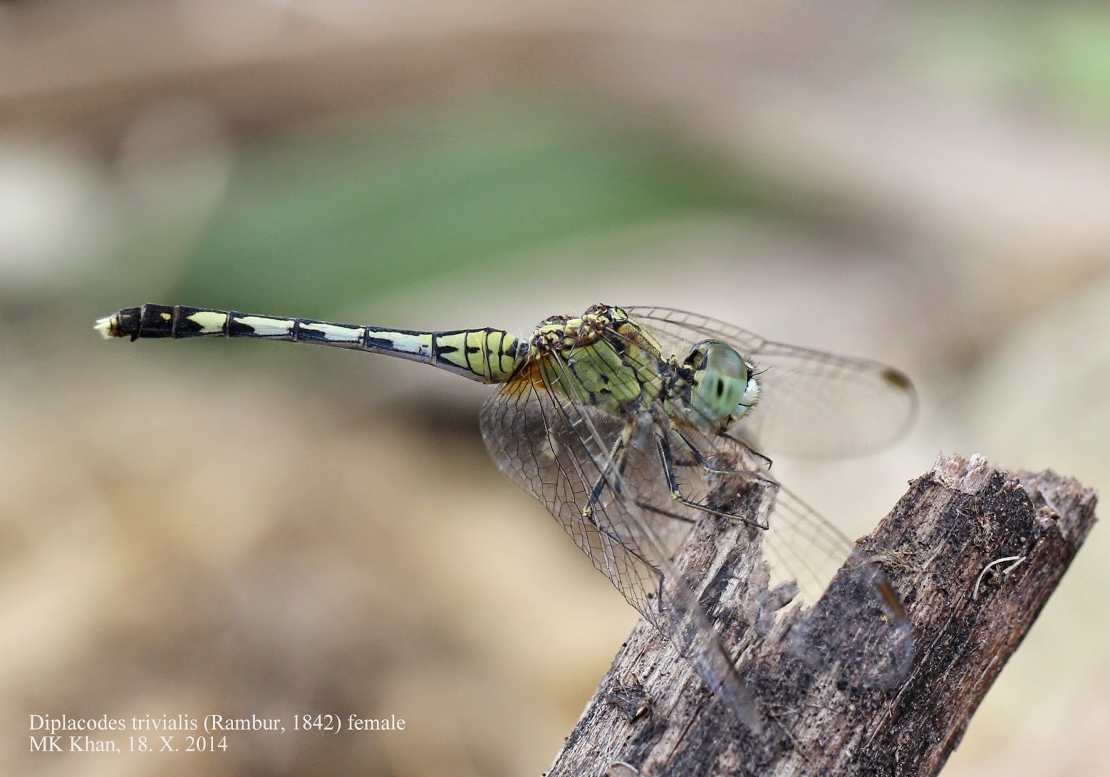 Dragonflies and Damselflies of Bangladesh: 27. Diplacodes.