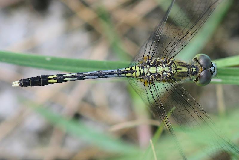 Dragonflies & damselflies of Thailand: 68. Diplacodes trivialis.