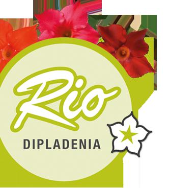 Rio Dipladenia.
