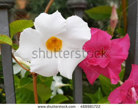 "dipladenia Sundaville"" Stock Photos, Royalty."