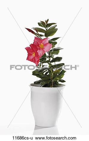 Stock Images of Dipladenia flower (Mandevilla) in flower pot.