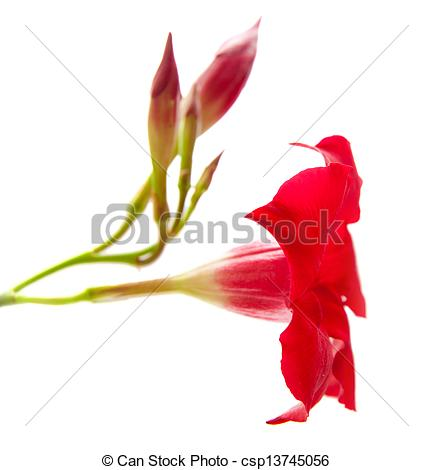Stock Images of red mandevilla (dipladenia), isolated on white.