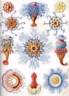 Medusozoa.