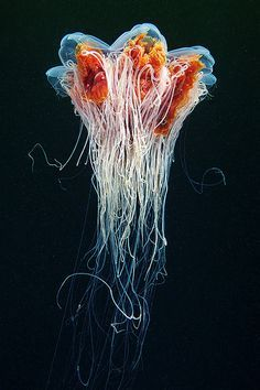 Colorful Jellyfish Wallpaper.