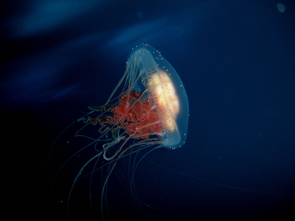 Jiggly Jellyfish from Dazzling to Deadly (72 Splendid Photos).