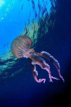 Jellyfish, Jelly and Ocean on Pinterest.