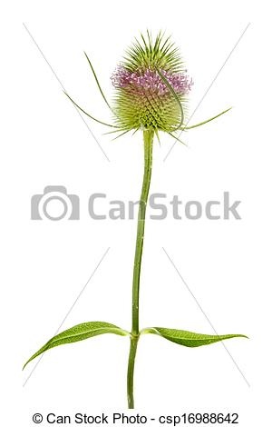 Stock Photo of Teasel plant.