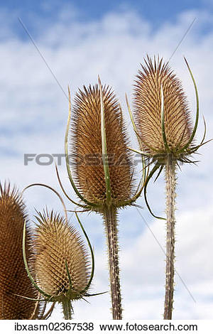 Pictures of Fuller's Teasel (Dipsacus sativus) ibxasm02367538.