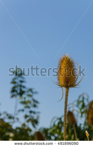 Dipsacus Stock Photos, Royalty.