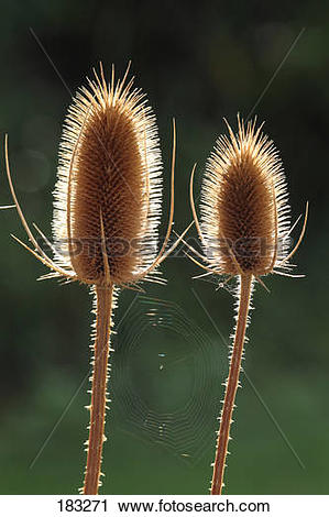 Stock Photography of Wild Teasel (Dipsacus fullonum), two dried.