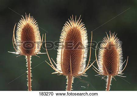 Stock Photography of Wild Teasel (Dipsacus fullonum), three dried.