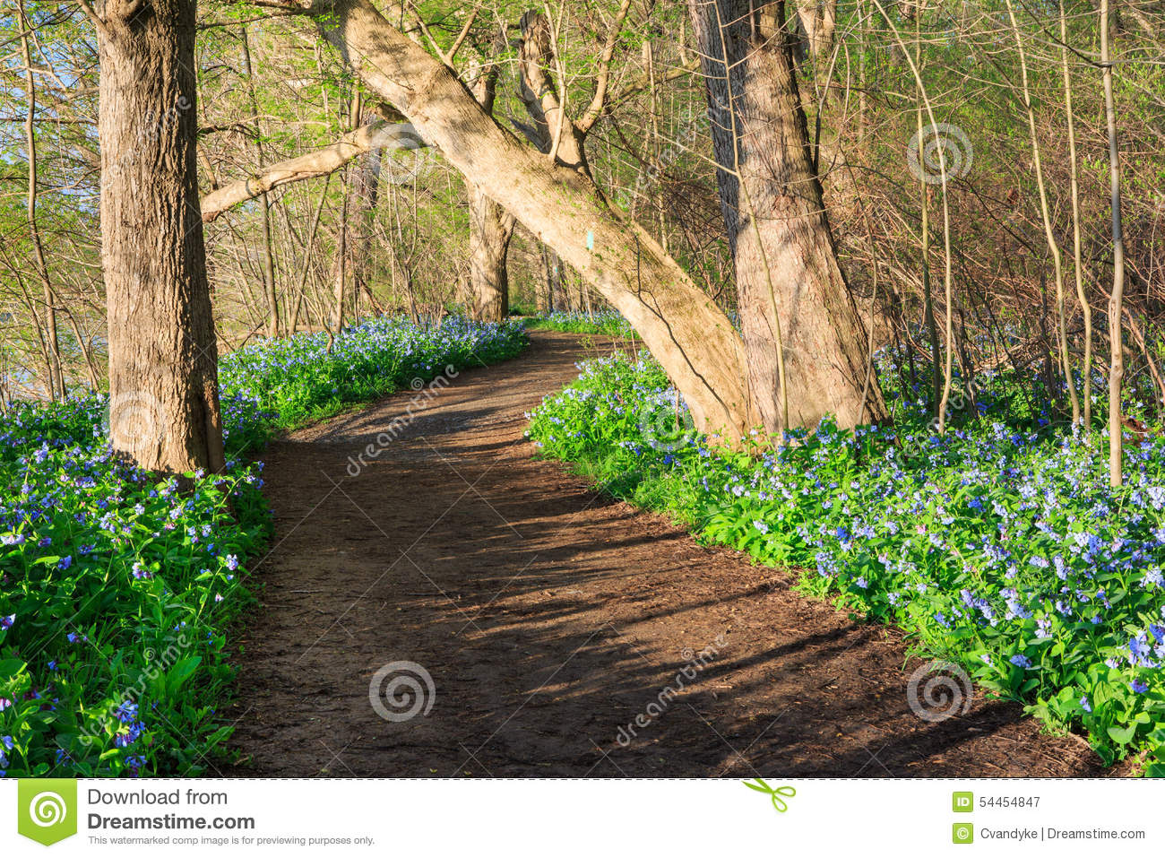 Dirt Trail Bluebells Wildflowers Virginia Park Stock Photo.