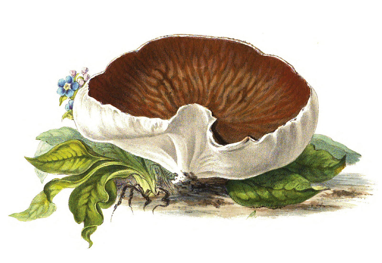 File:1865 Disciotis venosa.jpg.