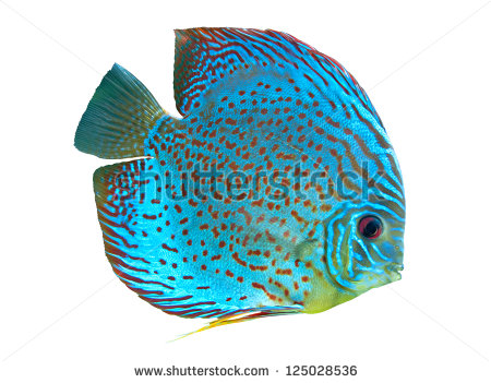 Symphysodon Discus Stock Images, Royalty.